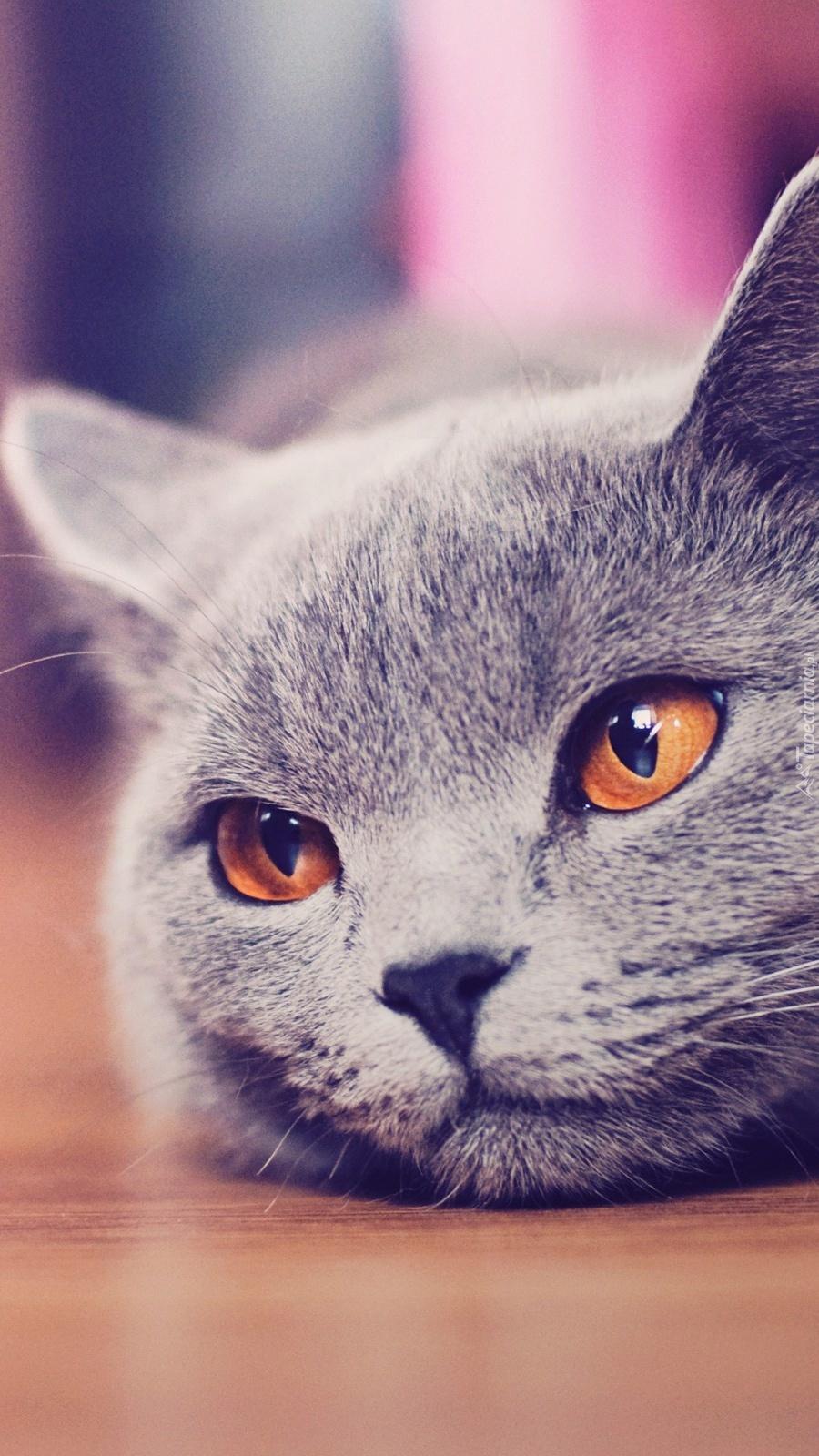 Szary Kot Brytyjski O Złotych Oczach Tapeta Na Telefon