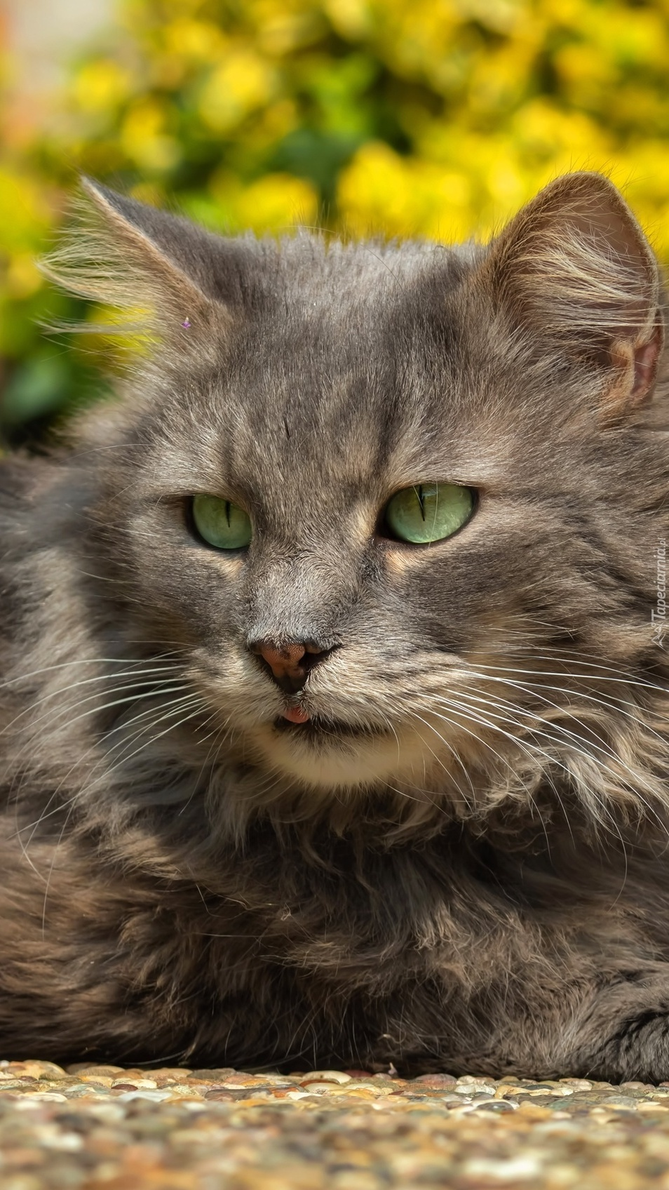 Szary zielonooki kot