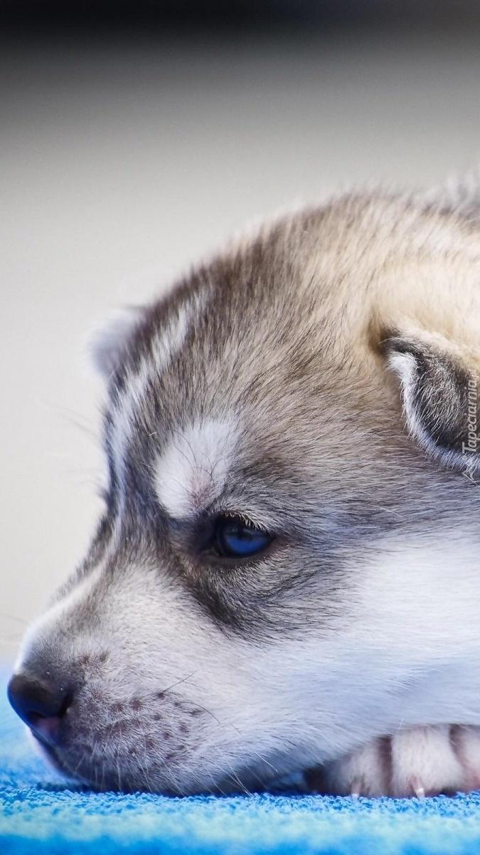 Szczeniaczek siberian husky