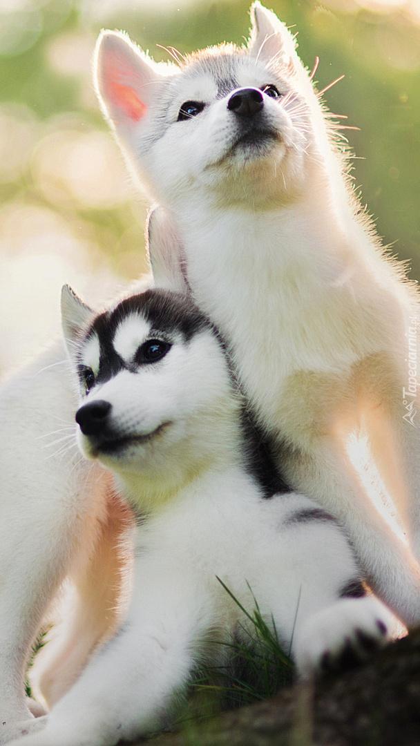 Szczeniaczki siberian husky