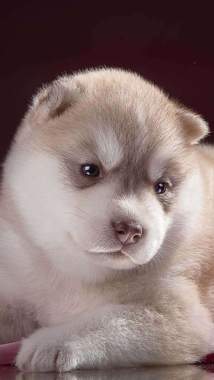 Szczeniak siberian husky