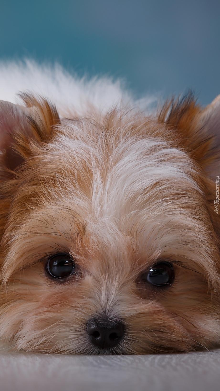 Szczeniak yorkshire terrier