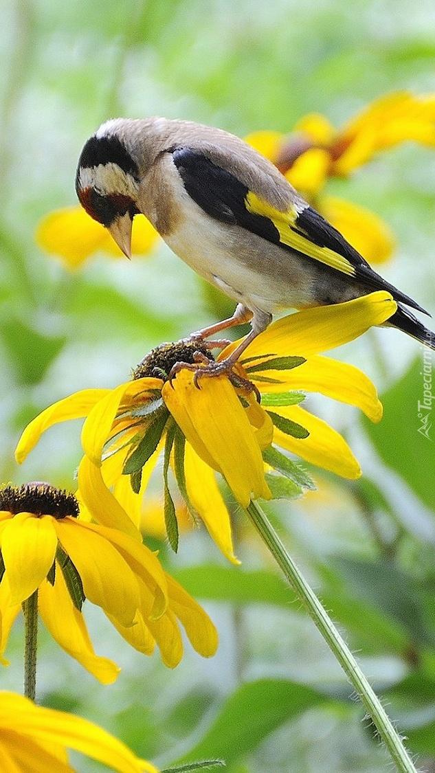 Szczygieł na kwiatach rudbekii