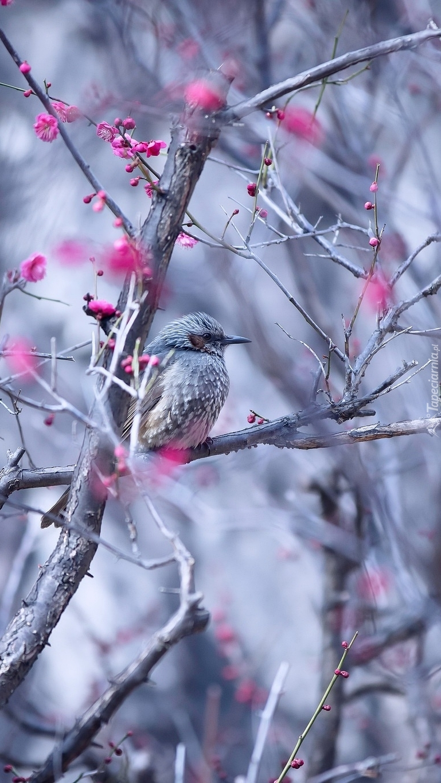Szpak wita wiosnę