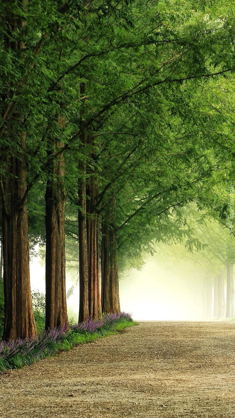 Szpaler drzew przy drodze