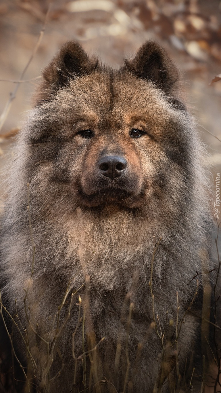Szpic Eurasier