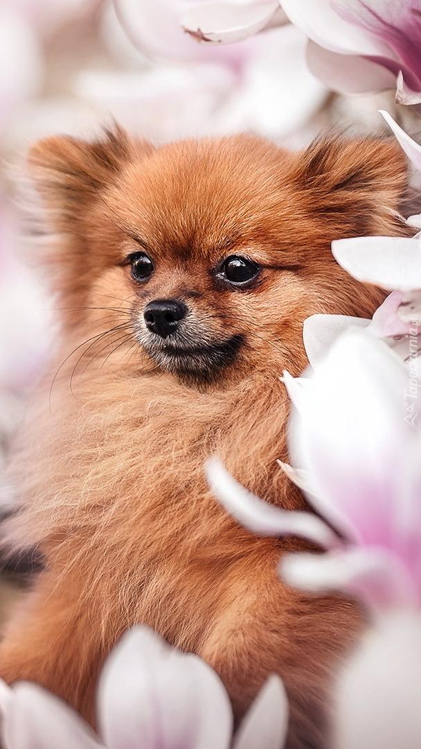 Szpic miniaturowy wśród kwiatów magnolii