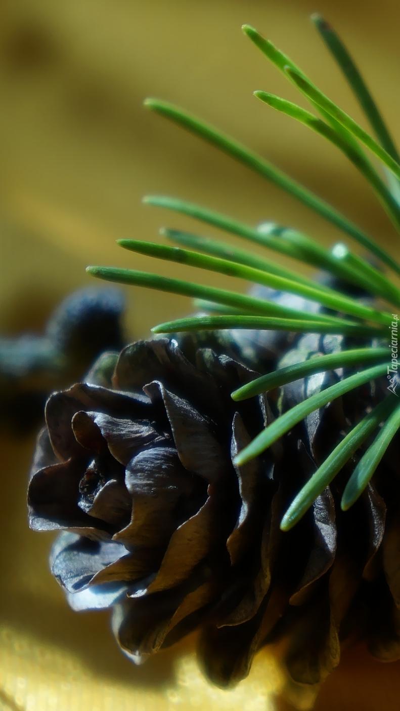 Szyszka na gałązce modrzewia