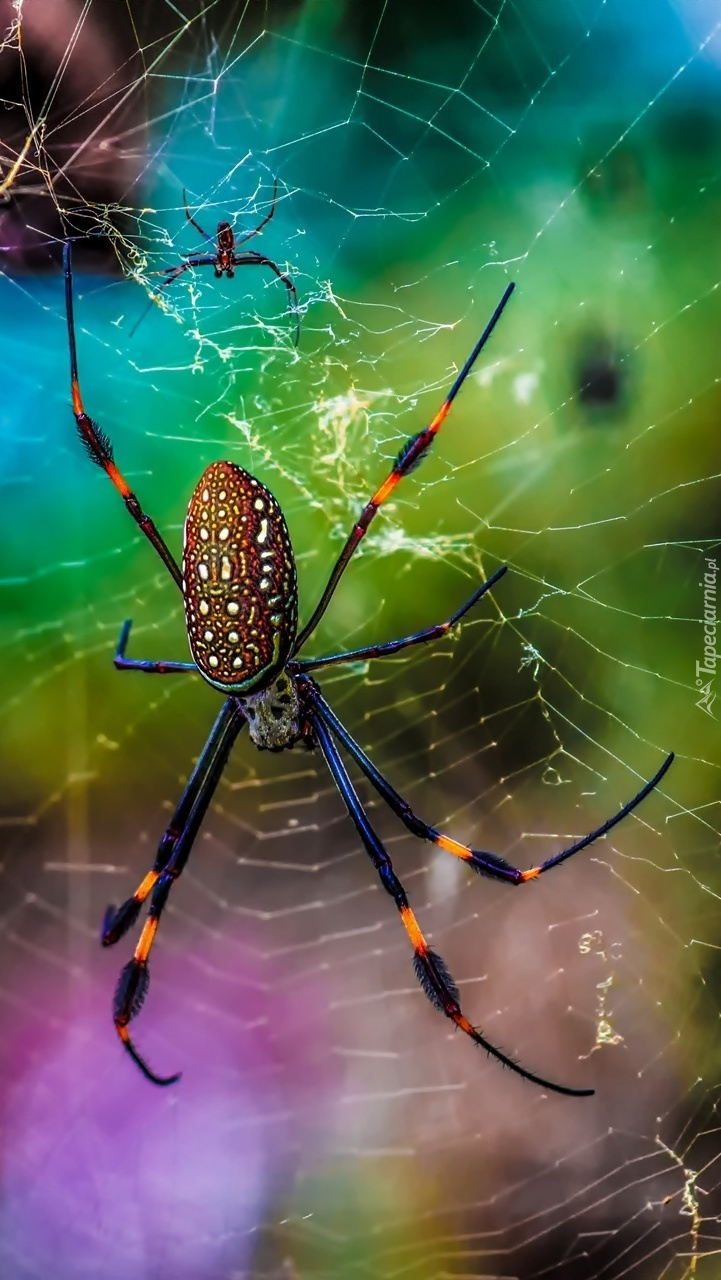 Tkające pająki