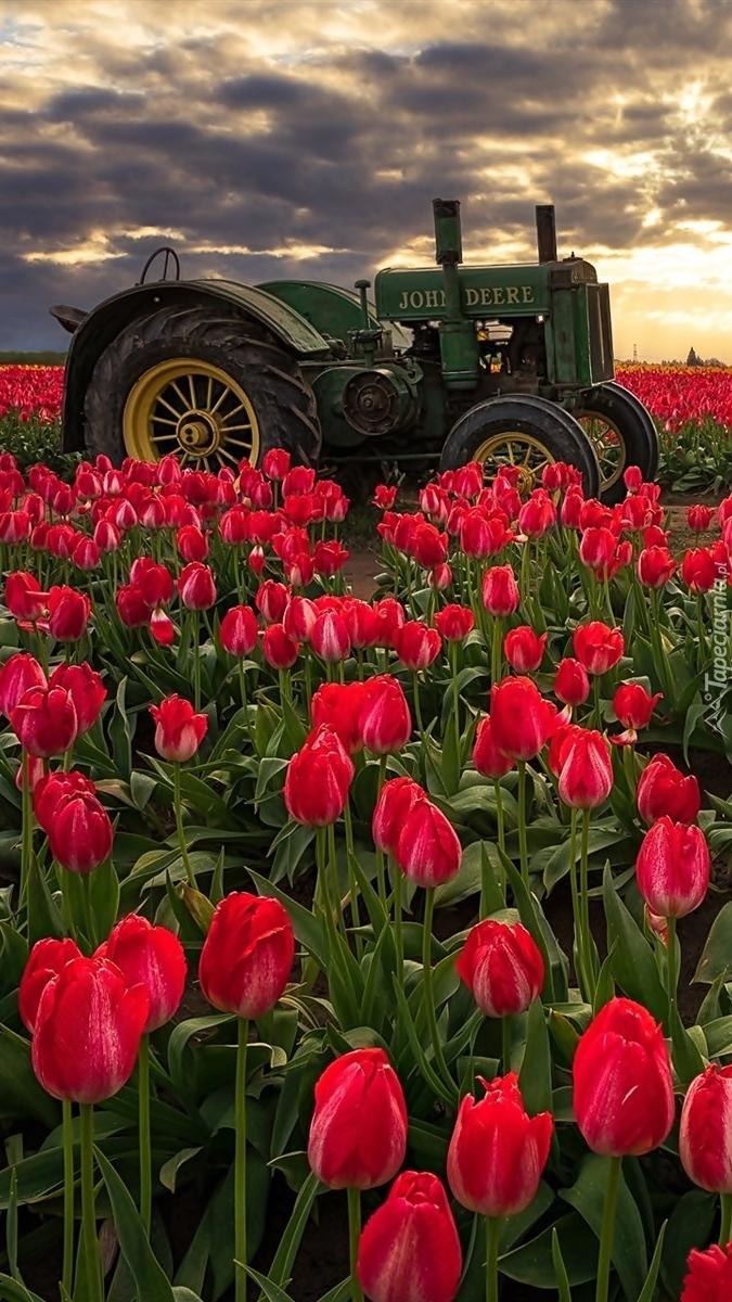 Traktor wśród tulipanów