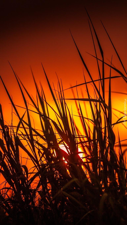 Trawa o zachodzie słońca