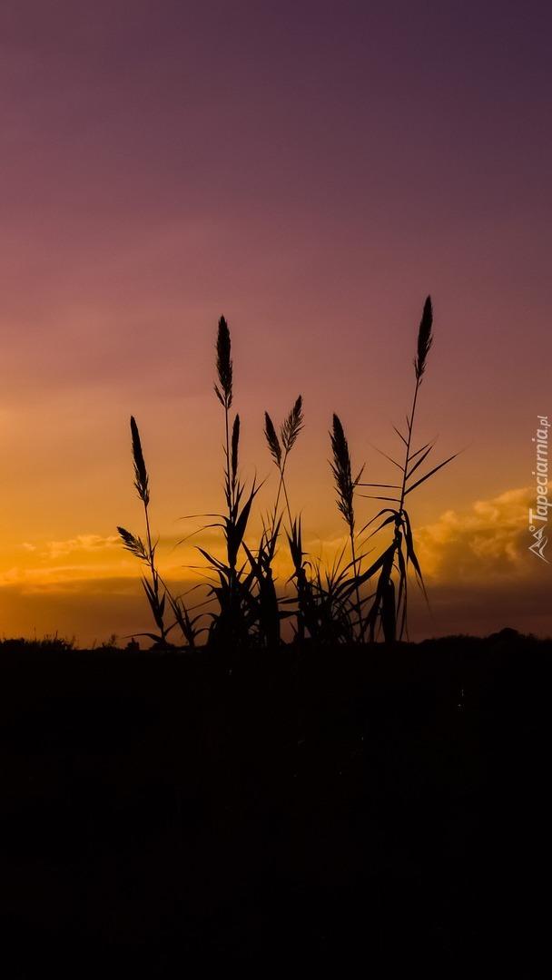 Trzciny o zachodzie słońca