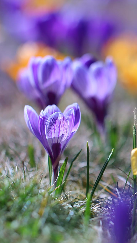 Trzy fioletowe krokusy