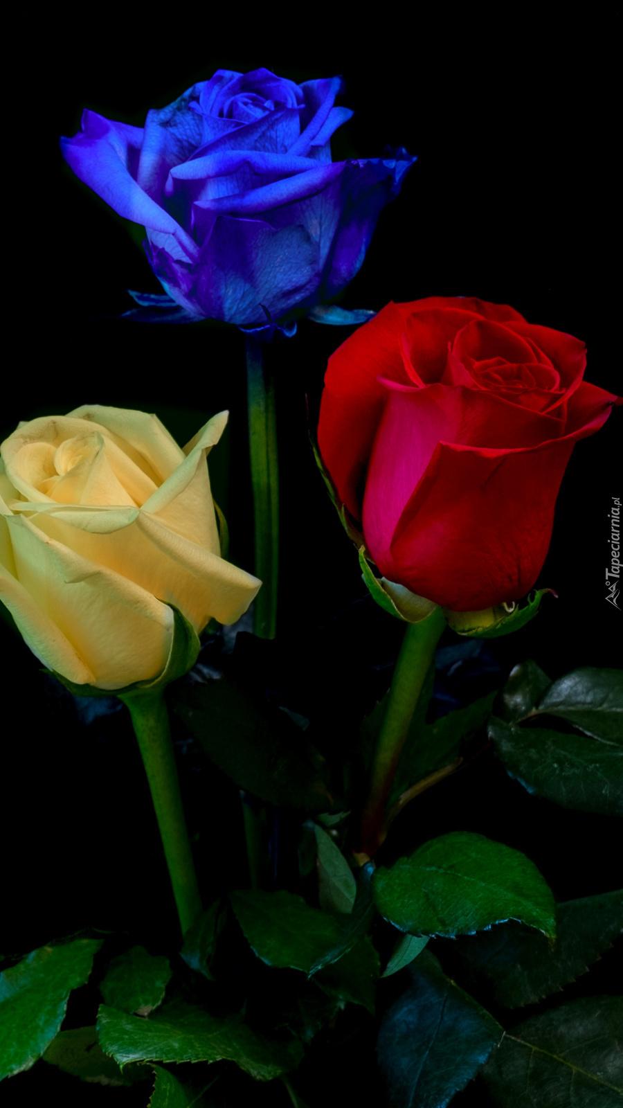 Trzy kolorowe róże