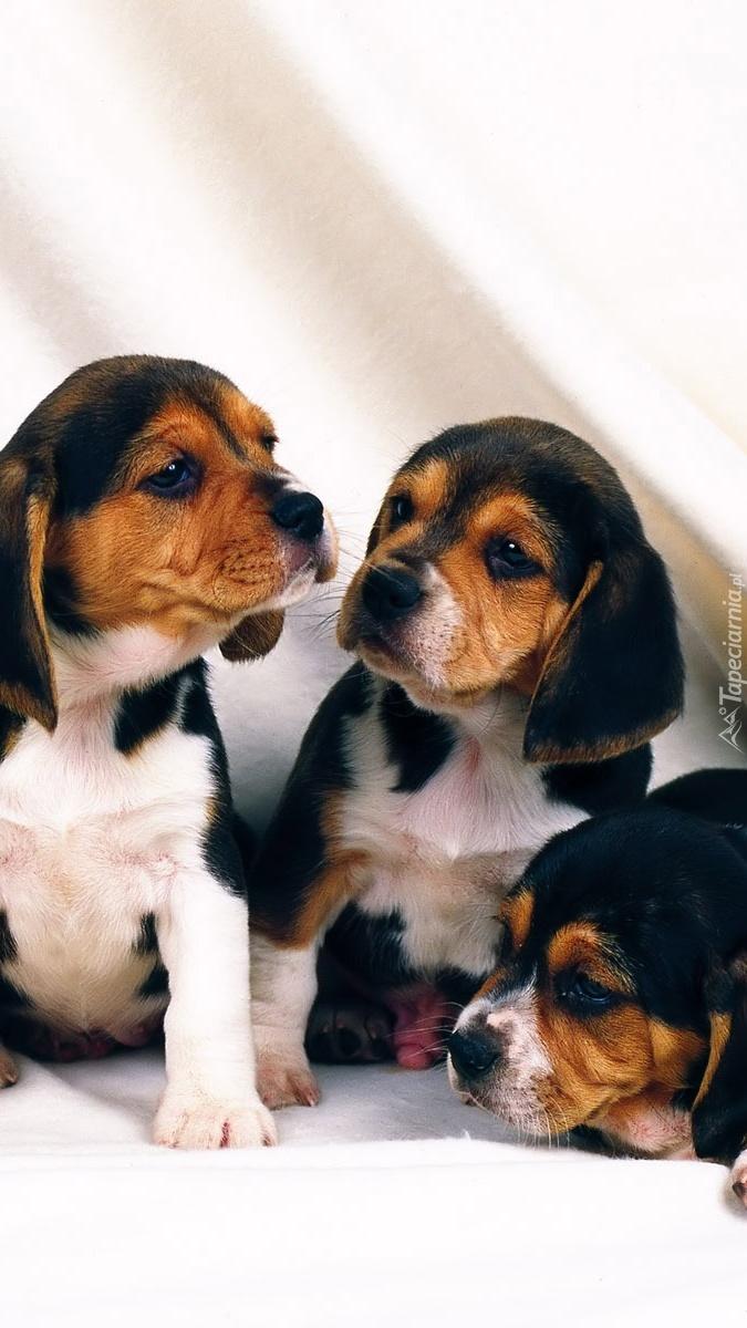 Trzy małe beagle
