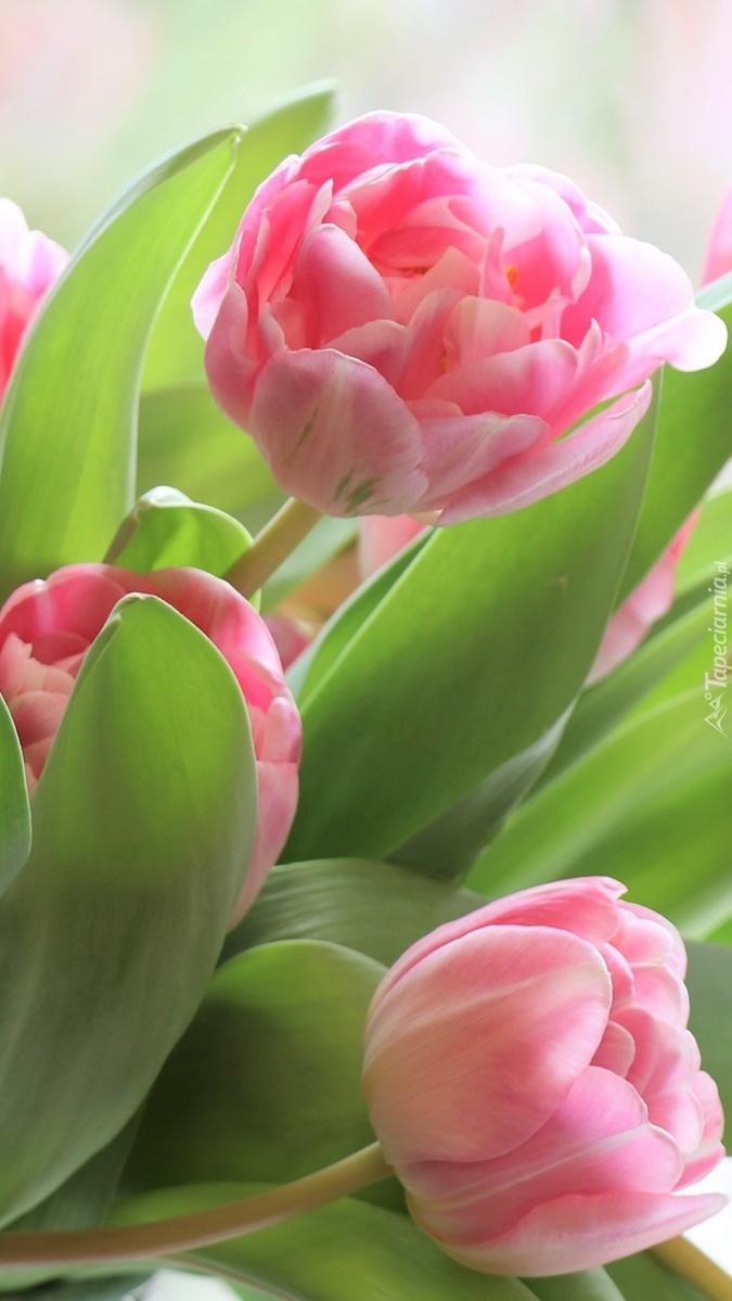 Trzy różowe tulipany