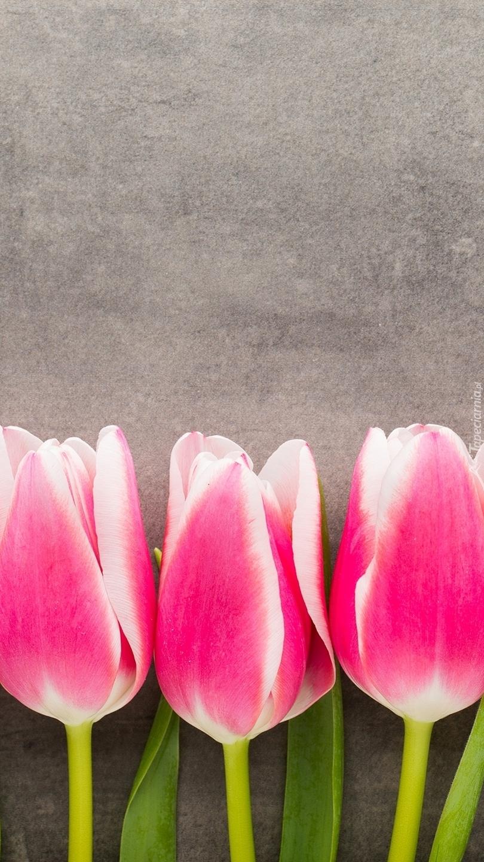 Trzy tulipany na szarym tle