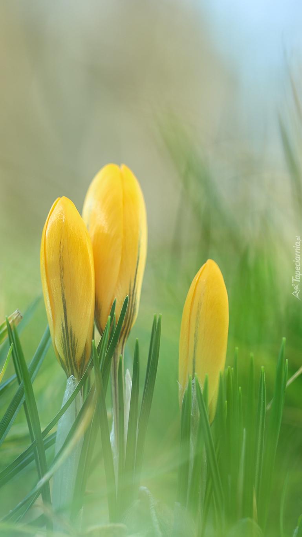 Trzy żółte krokusy w trawie