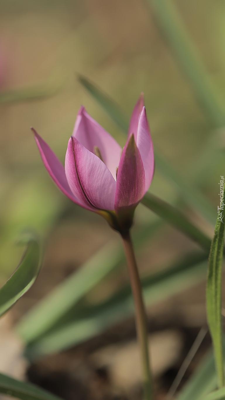 Tulipan w źdźbłach trawy