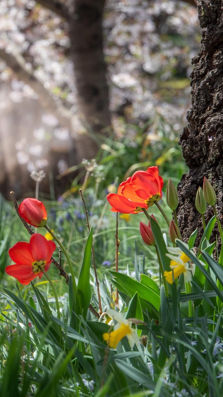 Tulipany i narcyzy pod drzewem