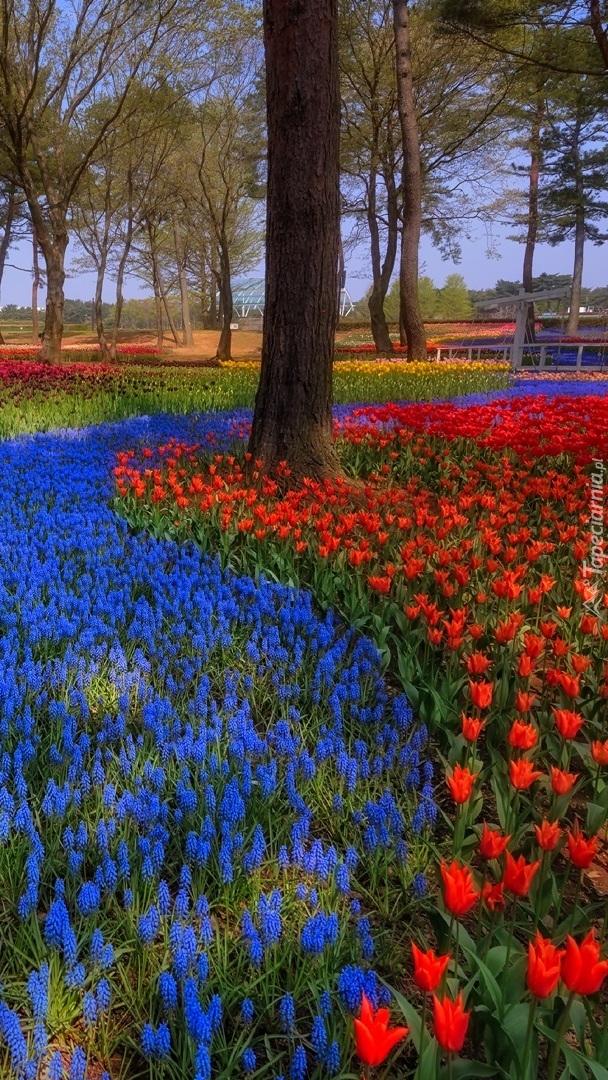 Tulipany i szafirki pod drzewami w parku