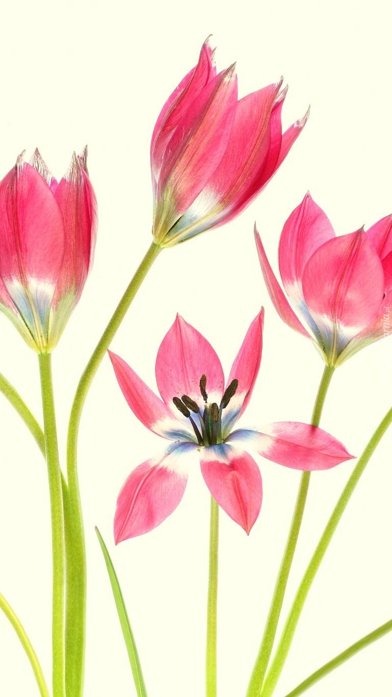 Tulipany na jasnożółtym tle