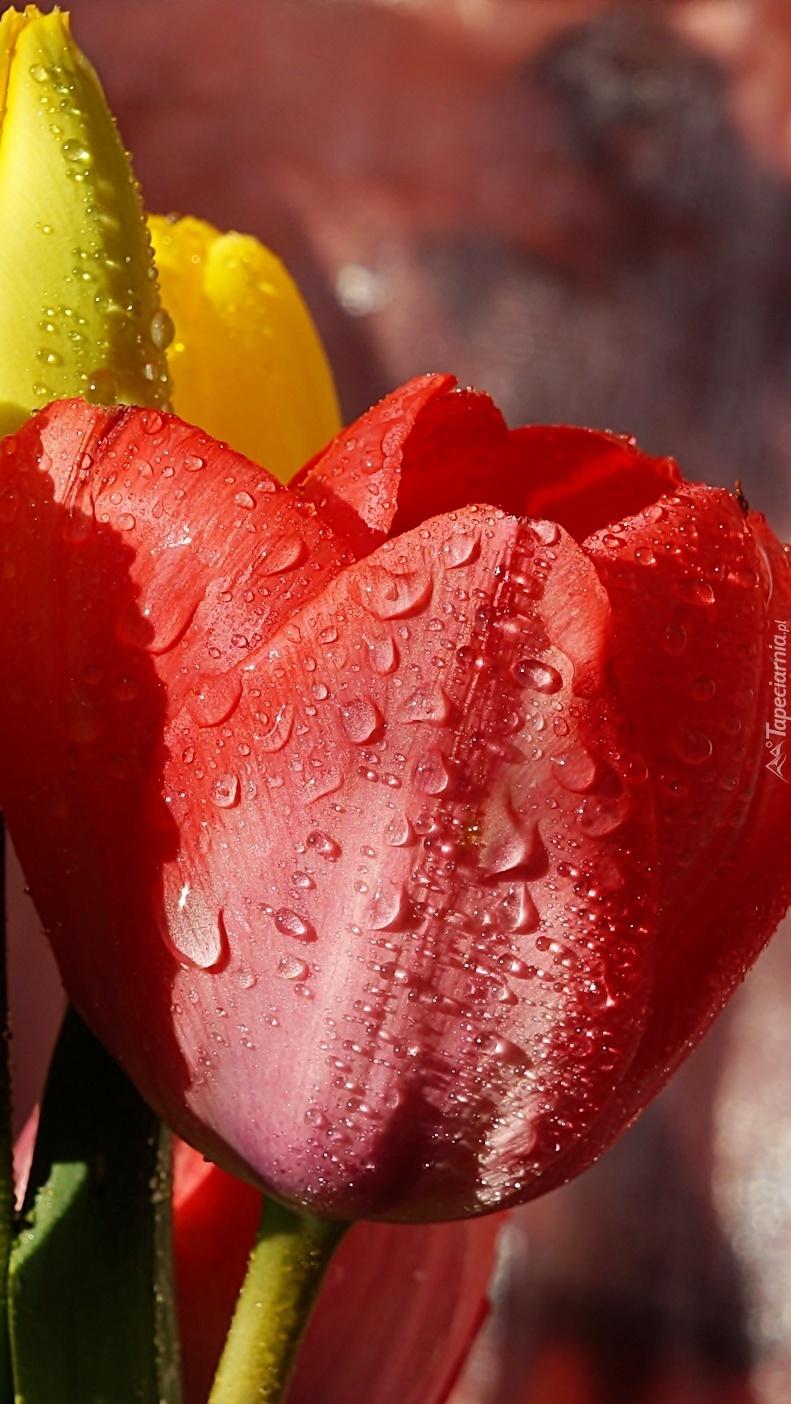 Tulipany w kroplach deszczu