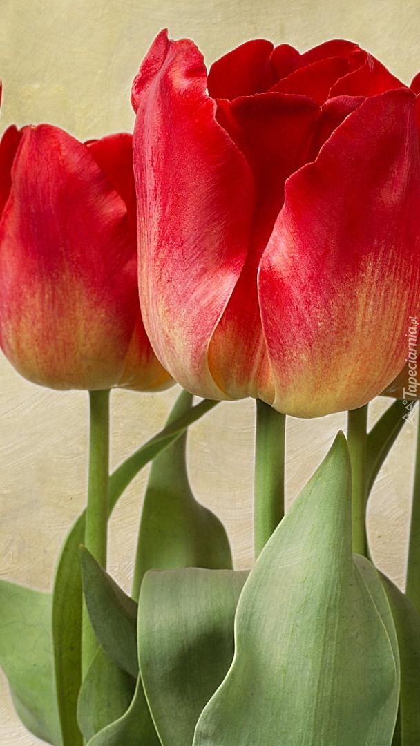 Tulipany w zbliżeniu