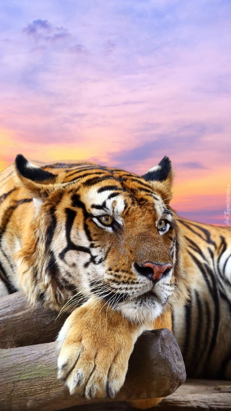 Tygrys leniuchuje