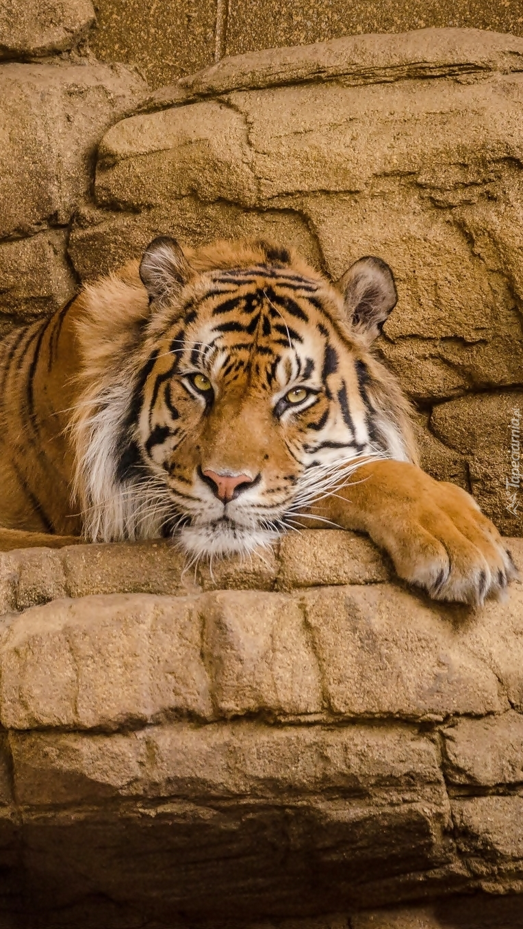 Tygrys leżący na skale