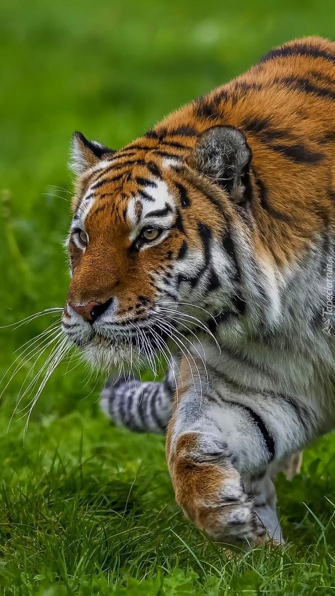 Tygrys na czatach