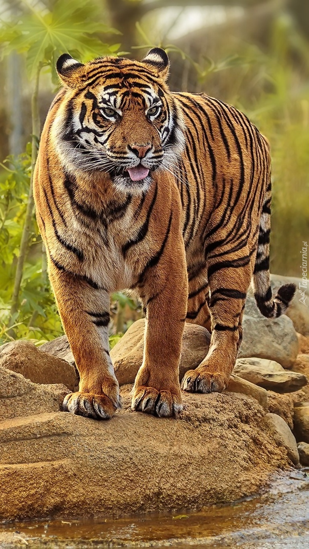 Tygrys na kamieniach
