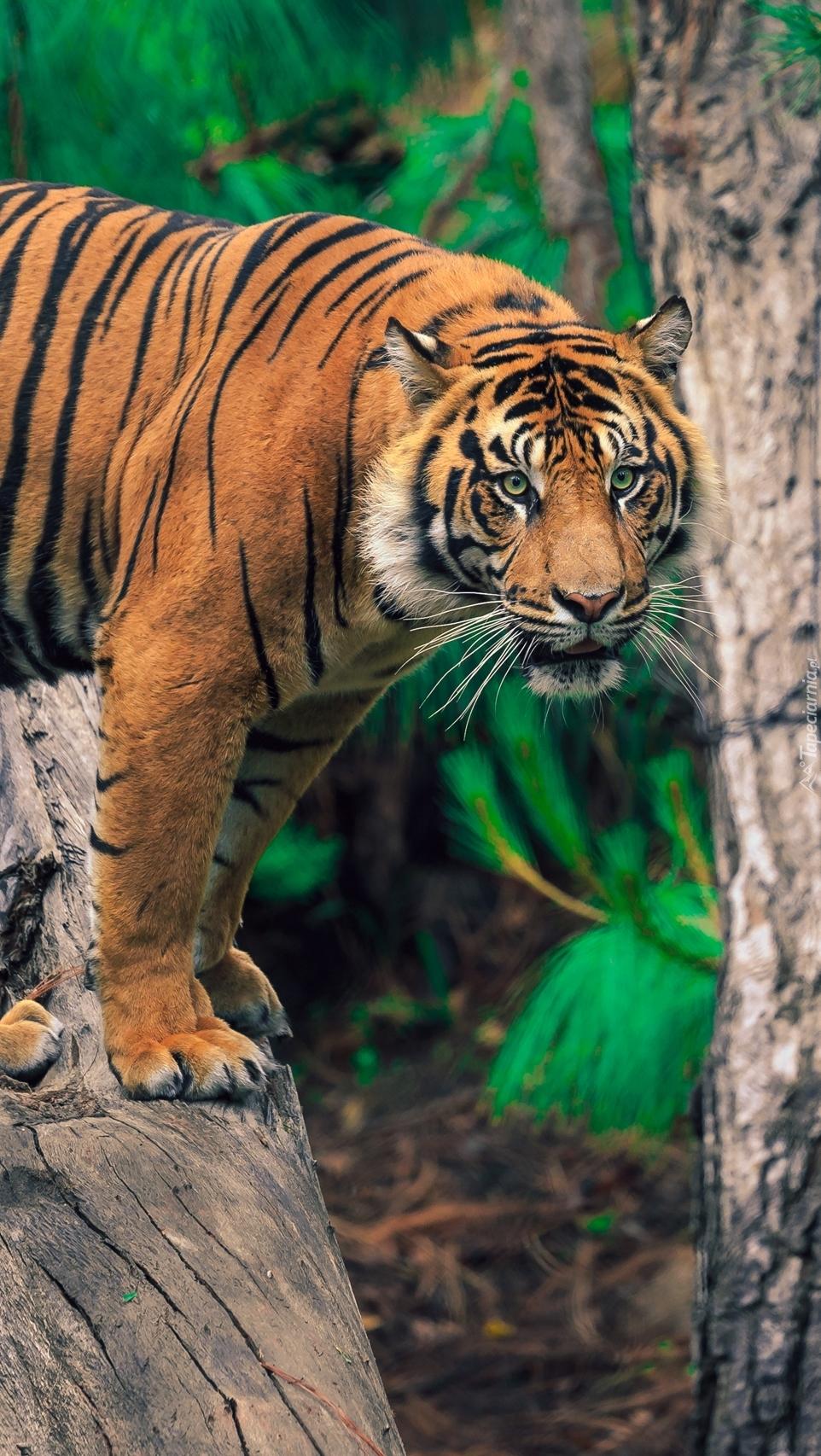 Tygrys na konarze
