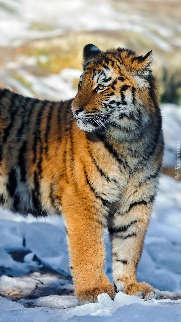 Tygrys na śniegu