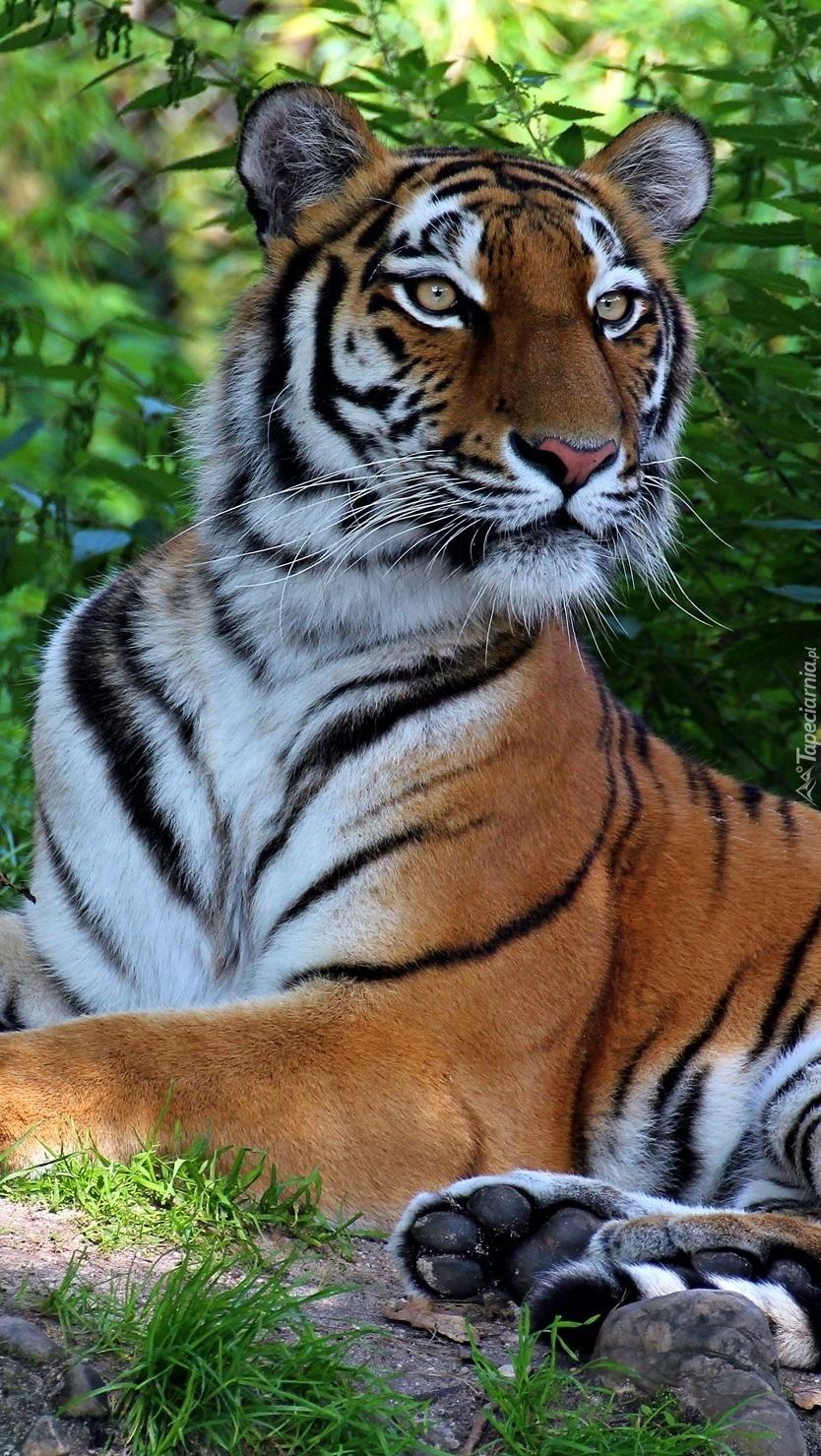 Tygrys na tle zieleni
