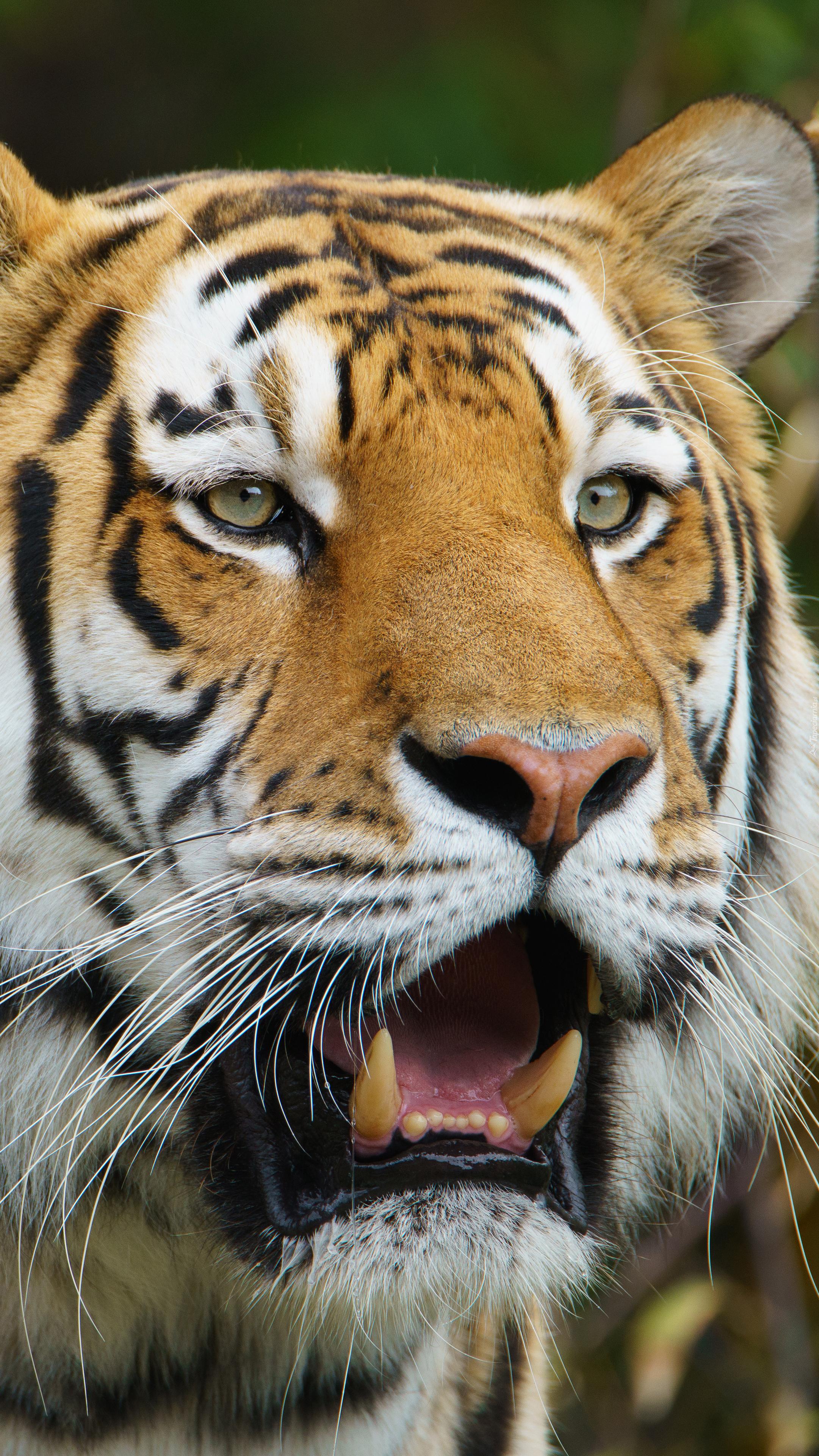 Tygrys pokazuje kły