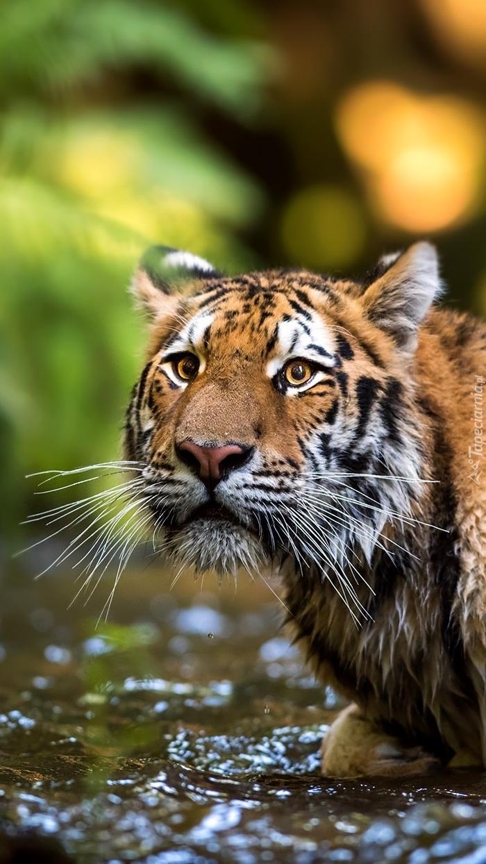 Tygrys przechodzi przez rzekę
