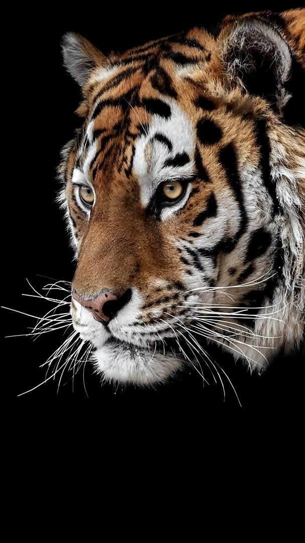 Tygrys syberyjski