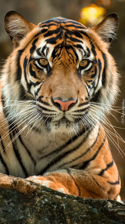 Tygrys w zbliżeniu