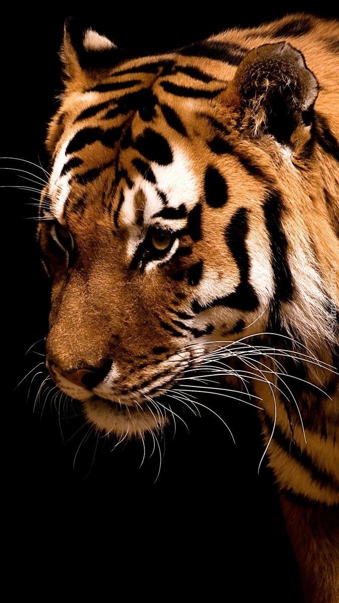 Tygrysia głowa w pręgi