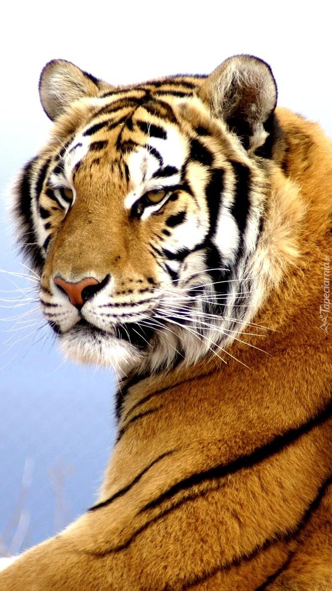Tygrysia powaga