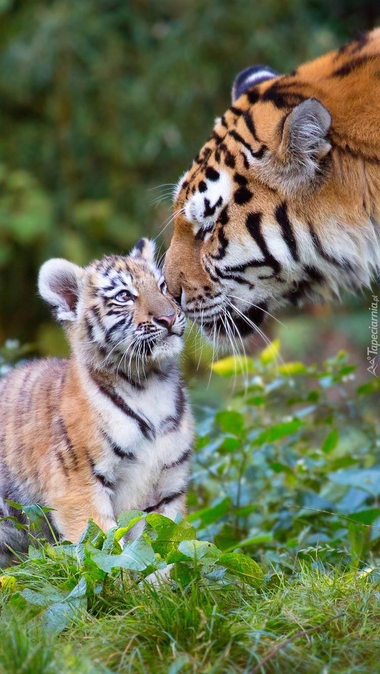 Tygrysica z młodym