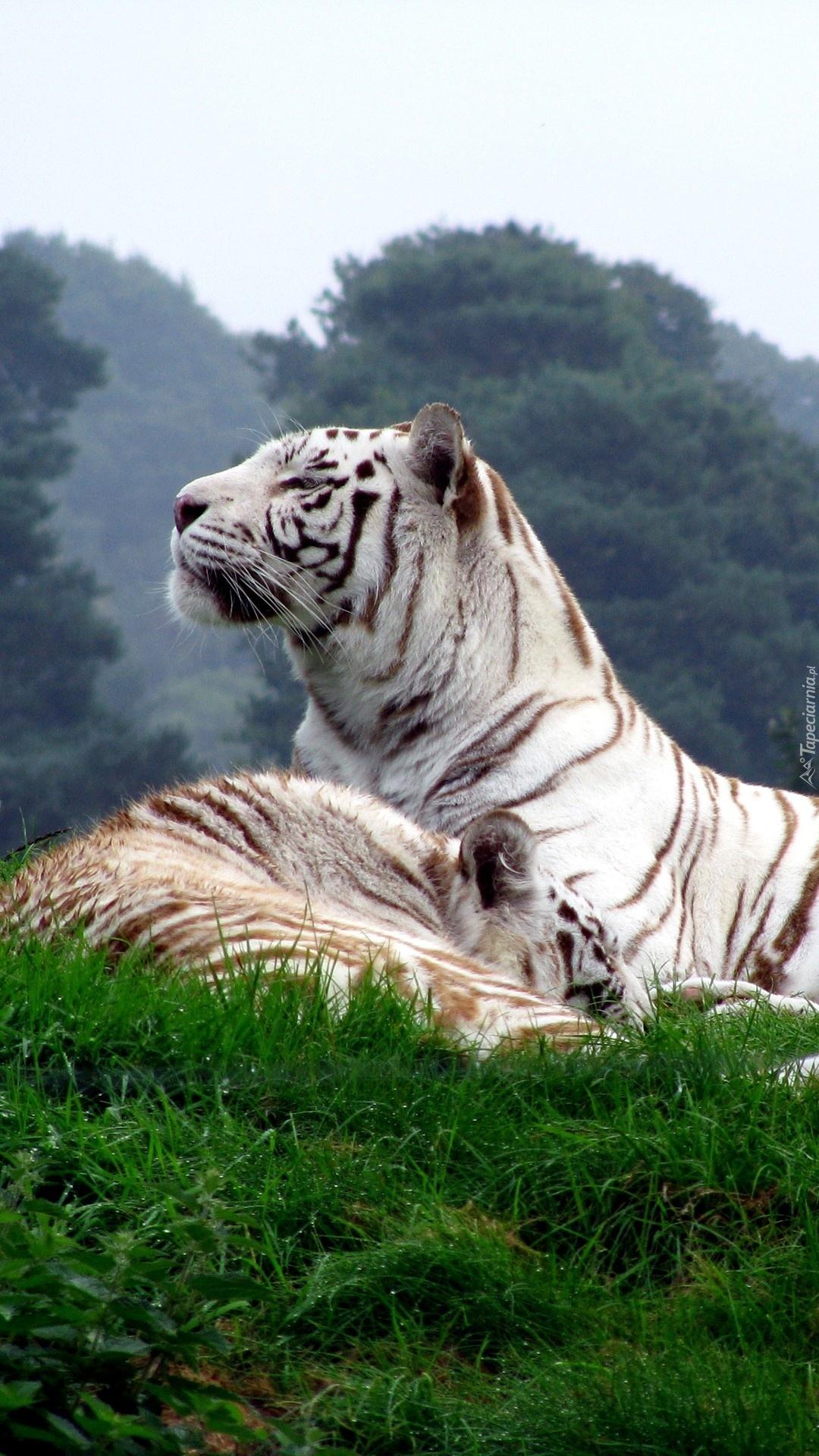 Tygrysy na trawie