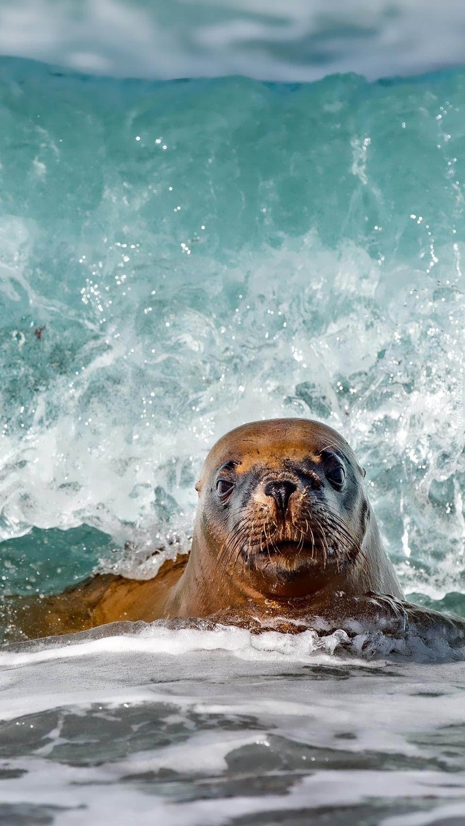 Uchatka kalifornijska