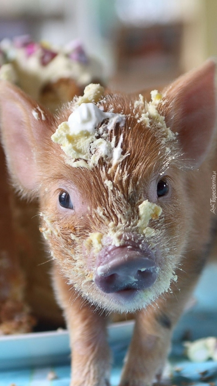 Umorusana świnka