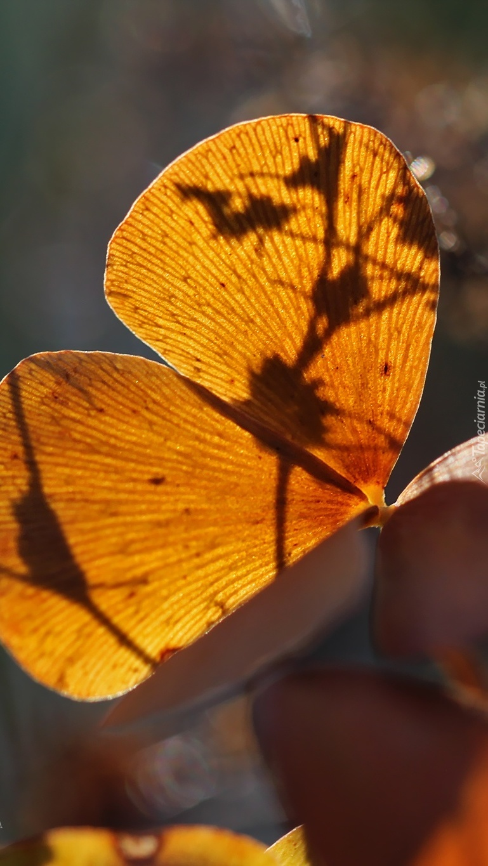 Uschnięty jesienny liść