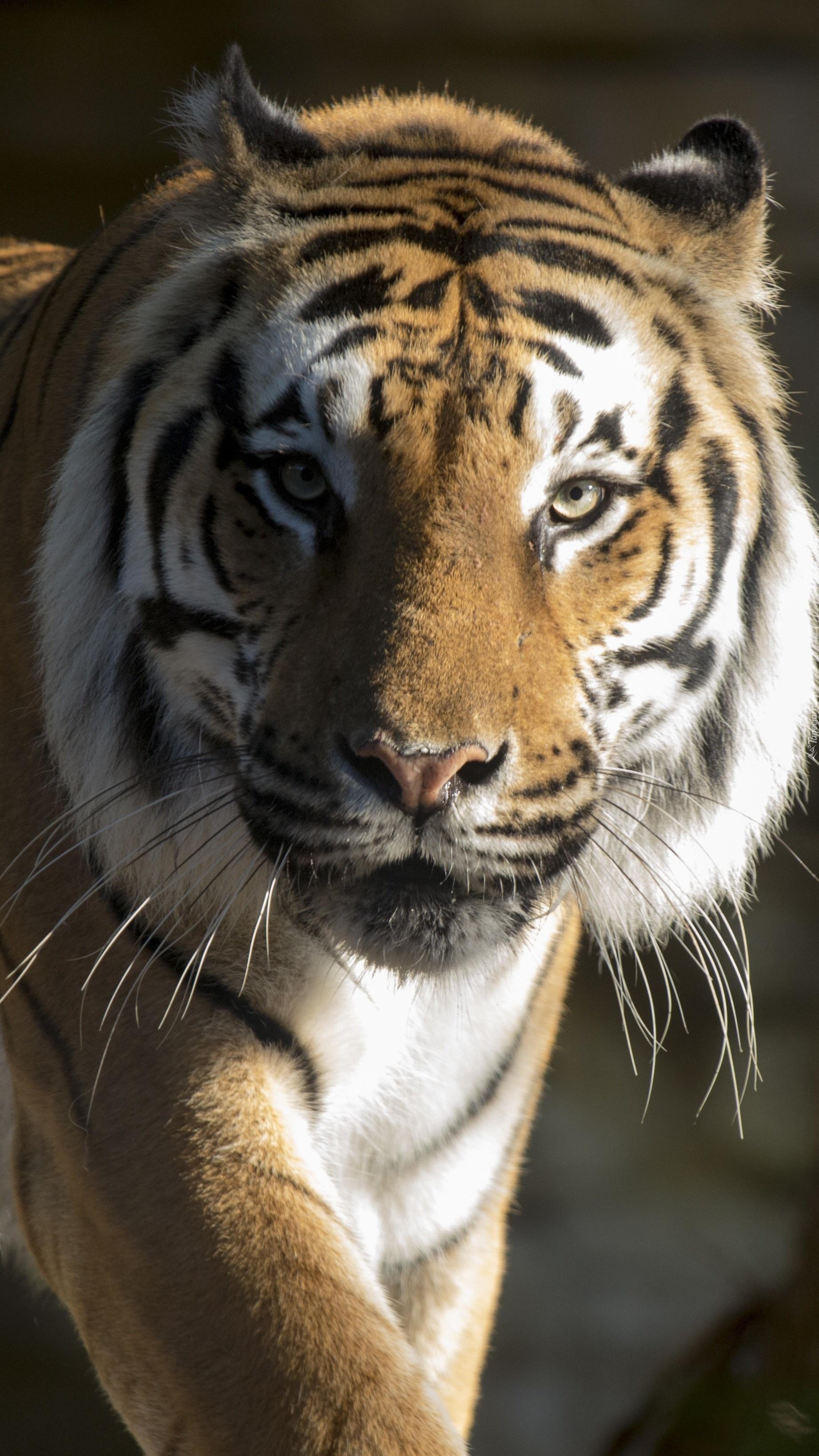 Uważne spojrzenie tygrysa