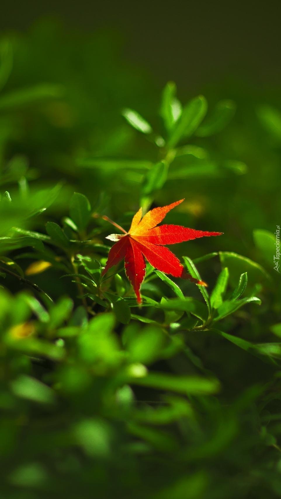 W zielonej trawie zabłąkał się czerwony listek