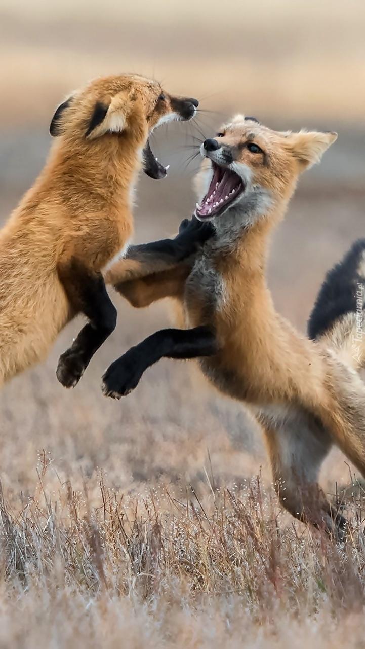 Walczące lisy na łące