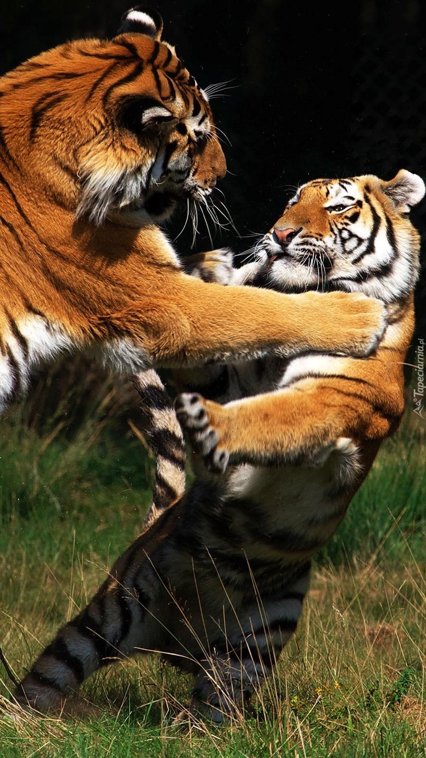 Walka dwóch tygrysów